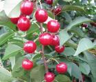 Późne odmiany wiśni