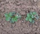 Truskawki sadzimy w sierpniu