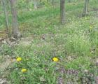 Herbicyd Chikara Duo - nowe rozwiązanie w sadach i winnicach
