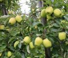 Jabłka na Krymie zaczęły drożeć