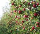 Potrzebna pomoc naszego państwa dla branży sadowniczej