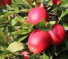 Nawożenie jabłoni. Wskazówki Adama Fury