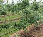 Włosi posadzą 100 ha jabłoni w Indiach?