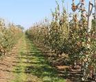 Dokarmianie roślin sadowniczych po zbiorach