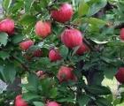 Prognoza zbiorów jabłek i gruszek w 2016 roku