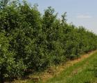 Wskazówki na spotkanie GDC z 27-29 lipca 2016 – wzrost owoców IV - po czerwcowym opadzie zawiązków