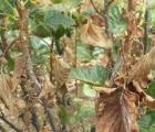 Plantatorzy porzeczek proszą ministra o ogłoszenie stanu klęski żywiołowej
