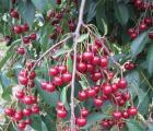 Średnio wczesne odmiany wiśni
