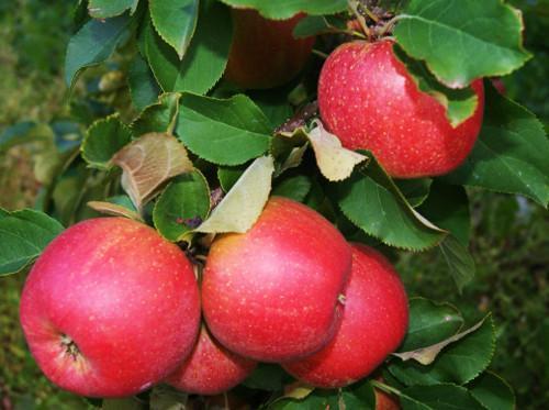 duża zniżka świetne okazje 2017 nowy produkt Optymalizacja terminu zbioru jabłek - Portal sadowniczy z ...